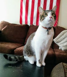 Tank is looking so patriotic! Wet Noses Pet Sitting Fort Collins, Loveland, Pet Sitter, Dog Walker, Cat Sitter #flag #cat #cats Kitten