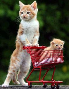 Mother cat taking little baby kitten for shopping...