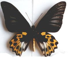 RIPPONIA HYPOLITUS SULAENSIS ff SEMIMASCULA (loc.: Sula) (coll. and photo: © Gilles Deslisle, St.Raymond, P.Q.) female form with male-like forewings - 18kB