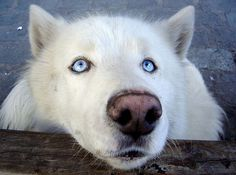 white husky dogs with blue eyes color