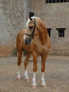 """chase-me-charlie: """" caterpiii: """" Napoleon - 15.2h Palomino Part Saddlebred Stallion by must love horses on Flickr. """" he looks like he's wearing a little top hat """""""