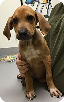 DFA RESCUE ACROSS THE NATION; Rescue info: Natchitoches, LA - Meet Dixon, a puppy for adoption. http://www.adoptapet.com/pet/11945918-natchitoches-louisiana-bloodhound-mix