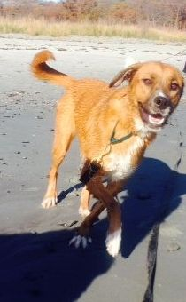 Meet beautiful Maggie, a 55lb Lab mix lady! Maggie is HERE IN NH!! and is searching for her forever family! Maggie is such a sweet girl who loves to go for walks on the beach and cuddling up to watch a movie! She would be a great addition to your...