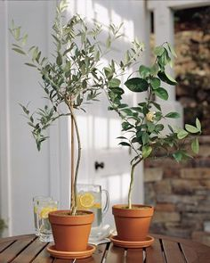 Olive tree, hopefully those mission olive seeds I saved will grow into a tree like this --in 3 LONG years--