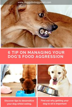 Food can be a big trigger for some dogs when it comes to aggressive behavior. Whether it is food in a bowl, treats or a bone, food aggression is a challenging problem especially when there are children or other dogs around. Check out 6 tips to help manage food aggression..