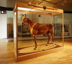"""Phar Lap preserved at the National Museum of Victoria in Melbourne, Australia. His coat looks two-toned because he had a """"trace - clip"""" when he died. The most impressive piece of taxidermy I've ever seen Melbourne Museum, Melbourne Cup, Melbourne Australia, Melbourne Victoria, All The Pretty Horses, Beautiful Horses, Sport Of Kings, E Mc2, All About Horses"""