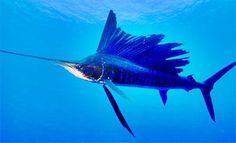 Agulhão-vela - Peixe da espécie Istiophorus platypterus - O mais veloz