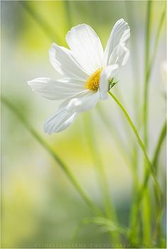 Pretty white daisy on pale greenish background Cosmos Flowers, White Flowers, Beautiful Flowers, Beautiful Pictures, Simply Beautiful, Flower Photos, Belle Photo, Flower Power, Planting Flowers
