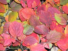 Dwarf Fothergilla ('Mount Airy') puts on a colorful show in fall, and flowers white in springtime.   Great Plant Picks