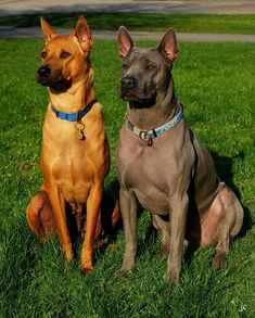 Confused About Your Canine? Read This For Clarity – Pets, Dogs, Cats Caring Tips and Pictures Thai Ridgeback, Hound Dog Breeds, Rare Dog Breeds, Animals And Pets, Baby Animals, Cute Animals, Medium Sized Dogs, Medium Dogs, Big Dogs