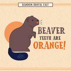 FUN FACT: Beaver teeth are orange because their tooth enamel is fortified with iron! #parkridgedentist