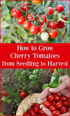 If you want to add cherry tomatoes to your garden, these tips will help you with every step of the process. These tips on how to grow cherry tomatoes include how to plant cherry tomato seedlings, how to grow cherry tomatoes in pots, how to care for cherry Trimming Tomato Plants, Potted Tomato Plants, Pruning Tomato Plants, Cherry Tomato Plant, Tomato Seedlings, Tomato Seeds, Caring For Tomato Plants, Tomato Plant Care, Plant Pots