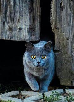 British shorthair kittens. Red tabby cat. Ginger tabby cat
