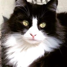 My Siberian Cat , Rafael .