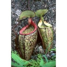 Colorful Plants, Small Plants, Exotic Plants, Plante Carnivore, Epiphyte, Pitcher Plant, Seeds For Sale, Peat Moss