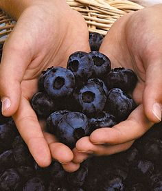 OMGosh, I want one of these bushes!!! Blueberry, Herbert Very large, rich and sweet fruits. Blueberries in abundance! Herbert produces a profusion of jumbo-sized fruits with a rich, sweet, slightly tart flavor; its a late-season variety and very winter hardy. Perfect.  Zone: 4-8   Sun: Full Sun   Height: 4-6  feet  Spread: 4-6  feet
