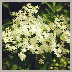 elderflower - sent fresh by overnight delivery anywhere in the UK from greensofdevon.com