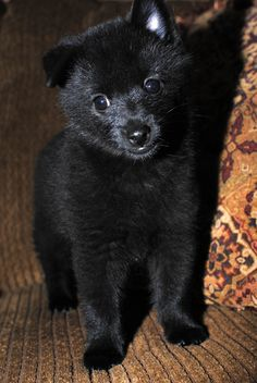 Schipperke pup Looks just like Riker except the other ear flops. Mirror image.