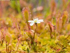 Kihokki kukkii - kihokki kukka kukkiva kukassa valkoinen pitkälehtikihokki Drosera anglica longifolia kasvi kaunis kesä kesäkuu kihokit luonto sammal suo suokasvi upea vihreä väri värikäs värit