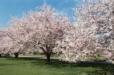 Cherry Trees, Memphis Botanic Garden