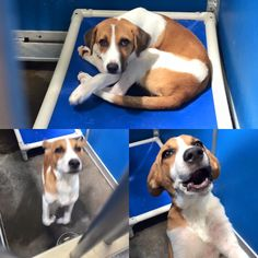 Cage 25. Greenville TX Shelter  Sweetest Beagle Hound Mix! Only 3-4 months old and incredibly sweet! This puppy will be a medium/large size adult. He is ready for a real home as he was picked up as a stray! Adoption fee on 63.00 which includes neuter and Rabies https://www.facebook.com/GreenvilleAnimalControlShelter/photos/a.1458110514484308.1073741844.1449321238696569/1574785962816762/?type=3&theater