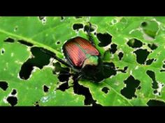 Peppermint is safe and effective for your organic gardening to keep pests at bay.