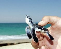 Baby Sea Turtle!! From- thefancy.com