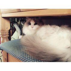 りりちゃん最近は鏡台と椅子の間がお気に入り #cat #cats #catgram #catslife #instacat #lovecat #catlover #instacats #cat_features #we_love_cats #world_kawaii_cat #catslover #ilovecats #cute#Ragdoll #猫#愛猫#にゃんこ#ねこもふ団 #ねこ部 #ラグドール#ラグドール部#可愛い #家族 #我が家の天使moeruitan102016/02/23 13:00:57