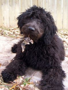 You need fiber in your diet. Animals And Pets, Baby Animals, Cute Animals, Baby Puppies, Dogs And Puppies, Doggies, Goldendoodle Grooming, Cockapoo, I Love Dogs