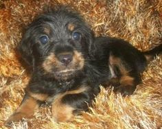 Doxie Mix Puppies is an adoptable Dachshund Dog in Aberdeen, NJ. Doxie Mix puppies ,and Mommy. Puppies are 8 weeks old, Mom was dumped in a gas shelter in North Carolina. She was in foster care there ...