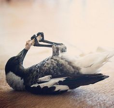 Rescued Magpie Becomes Lifelong Friend With The Family That Saved Her Life | Bored Panda