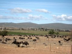 Ostrich farm outside Oudtshoorn Family World, Continents, Family Travel, South Africa, Journey, African, Outdoor, Family Trips, Outdoors