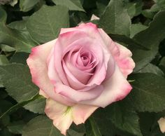 'Blue water' large purple rose