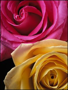 flowers Pink and yellow roses ? Yellow Roses, Pink Yellow, Pink Roses, Tea Roses, Hot Pink, Love Rose, Pretty Flowers, Purple Flowers, Yellow Color Combinations