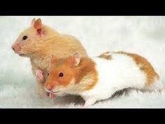 Hamster Climb Funny