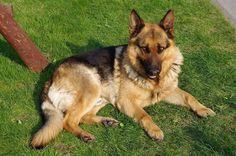 German-Shepherd-Dog-Relaxing-On-Grass.jpg (1024×680)