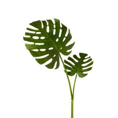 Add a tropical touch to your foyer bouquet or create a lush display in the bay window with this faux monstera stem. Silk Plants, Fake Plants, Indoor Plants, Garden Plants, Garden Water, Artificial Plant Wall, Artificial Flowers, Tropical Leaves, Tropical Plants