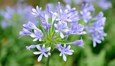 """Eye-catching agapanthus """"Lily of the Nile"""" Greek Words For Love, African Lily, Plants Delivered, Agapanthus, Love Flowers, Garden Art, Shrubs, Gardening Tips, Perennials"""