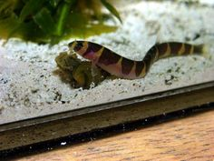 The kuhli loach (Pangio kuhlii) is a small eel-like freshwater fish belonging to the loach family (Cobitidae). It originates in Indonesia and the Malay Peninsula. This snake-like creature is very slender and nocturnal. This fish have a maximum length of 4 inches (10 cm) and can live for 10+ years, sometimes up to 60+.