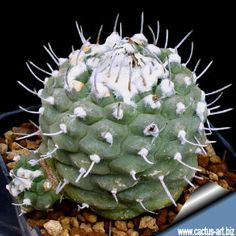 Turbinicarpus jauernigii Cactus Art, Cacti And Succulents, Cabbage, Surat Thani, Green Houses, Enrique Iglesias, Vegetables, Gardens, Live