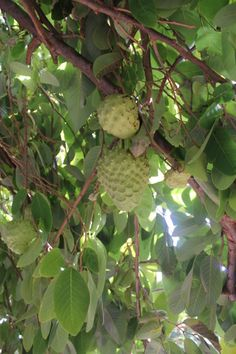 Garden of Eden in my backyard :: grow exotic fruits