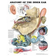 Anatomy of the Inner Ear Anatomical Chart - Anatomy Models and Anatomical Charts.Our anatomy experts have chosen the best anatomy models and anatomy charts to sell to our customers. If you are looking for an anatomy model or anatomy chart, we are your one Inner Ear Anatomy, Middle Ear Anatomy, Human Ear, Human Body, Special Education Behavior, Family Tree Chart, Hearing Problems, Anatomy Models, Learning