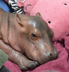 Hippo Baby Fiona Updates - The Cincinnati Zoo & Botanical Garden Cute Funny Animals, Cute Baby Animals, Animal Babies, Cute Little Baby, Cute Babies, Baby Hippopotamus, Fiona The Hippo, Cute Hippo, Cincinnati Zoo