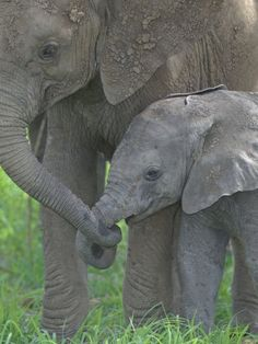 African Elephant Mother Holding its Baby's Trunk, Loxodonta Africana, East Africa. Photograph by Arthur Morris.