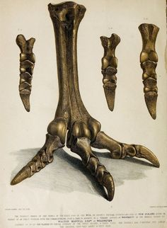 zeichnung Fossilized feet of a Moa (Family Dinornithidae) a large flightless bird that was endemic to by Joseph Dinkel for Gideon Algernon Mantell A Pictorial Atlas of Fossil Remains Contributed for digitization by Ernst Mayr Library Museum of Comparative Extinct Birds, Fish Skeleton, Animal Anatomy, Wildlife Art, Natural History, Mammals, Illustration, Bones, Dinosaurs