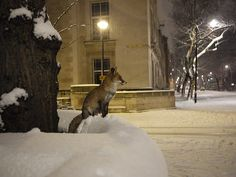 Red fox in snowy London   animal + urban wildlife photography.