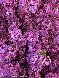 Lilac early Spring Lavender Flowers, Cut Flowers, Lilac, Purple, Blue, Early Spring, Seasons, Plants, Pictures