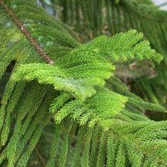 Norfolk Island pines have distinctive, emerald foliage.