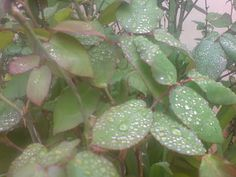 pokotali Plant Leaves, Plants, Plant, Planting, Planets