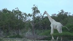 Rare and Stunning Footage of a White Giraffe and Her Baby Wandering Through a Kenyan Preserve